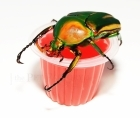 Beetle Jelly HP Strawberry