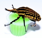 Beetle Jelly Melon