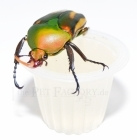 Beetle Jelly Peach