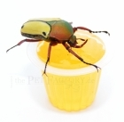 Beetle Jelly HP Orange