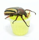 Beetle Jelly Apple