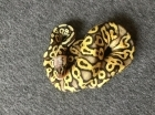 Kuningas Python Super Pastel Yellowbelly het. Clown 1.0